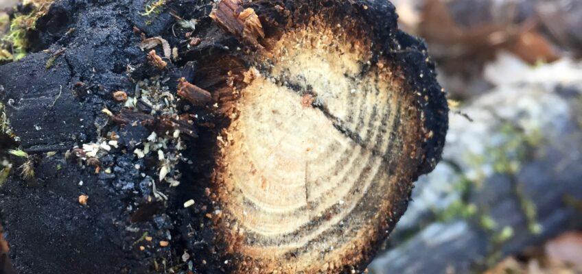 Förkolnat trä motstår mossa och förmultning