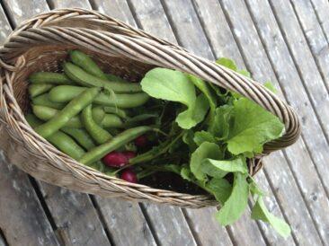 Höstskörd, bondbönor och rädisor